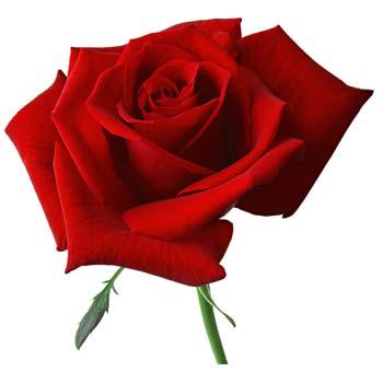 anniversaire de mariage 17 ans noces de rose